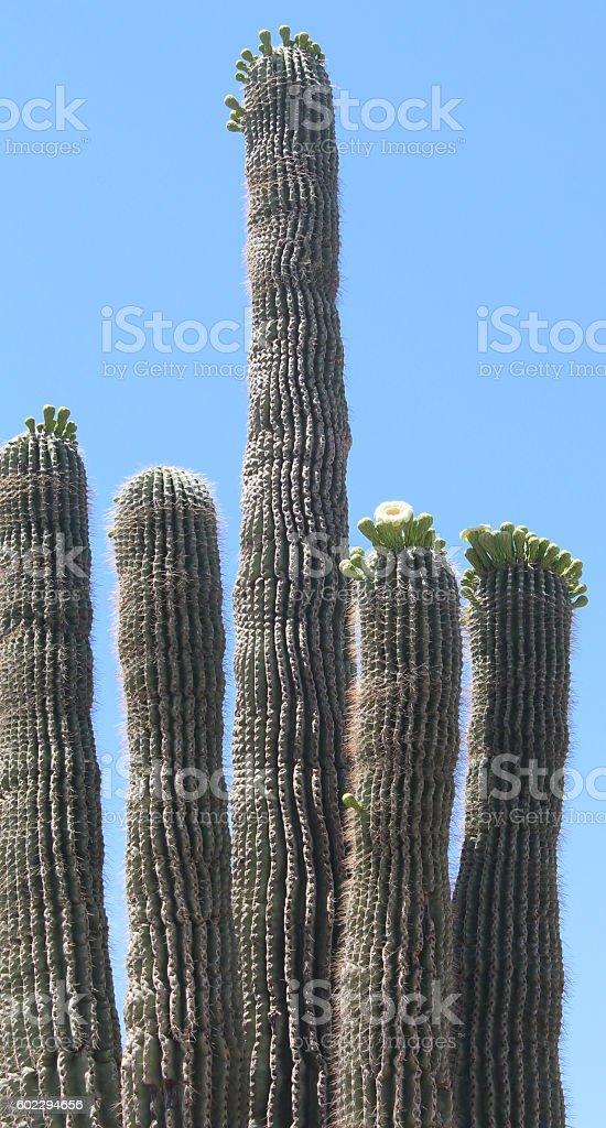 Flowering Saguaro stock photo
