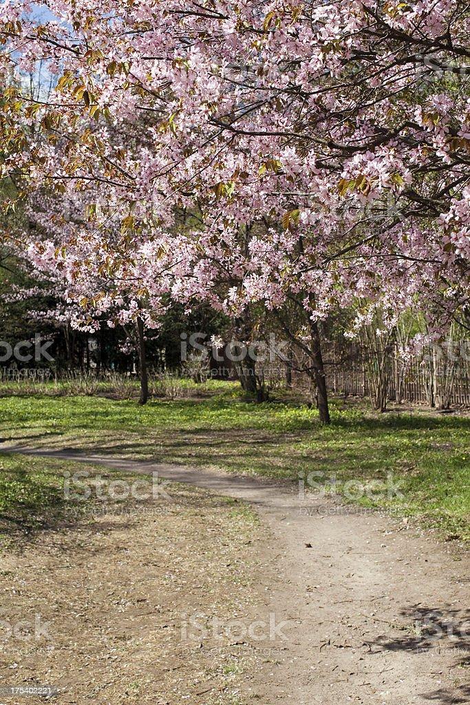 Flowering Sakura. royalty-free stock photo
