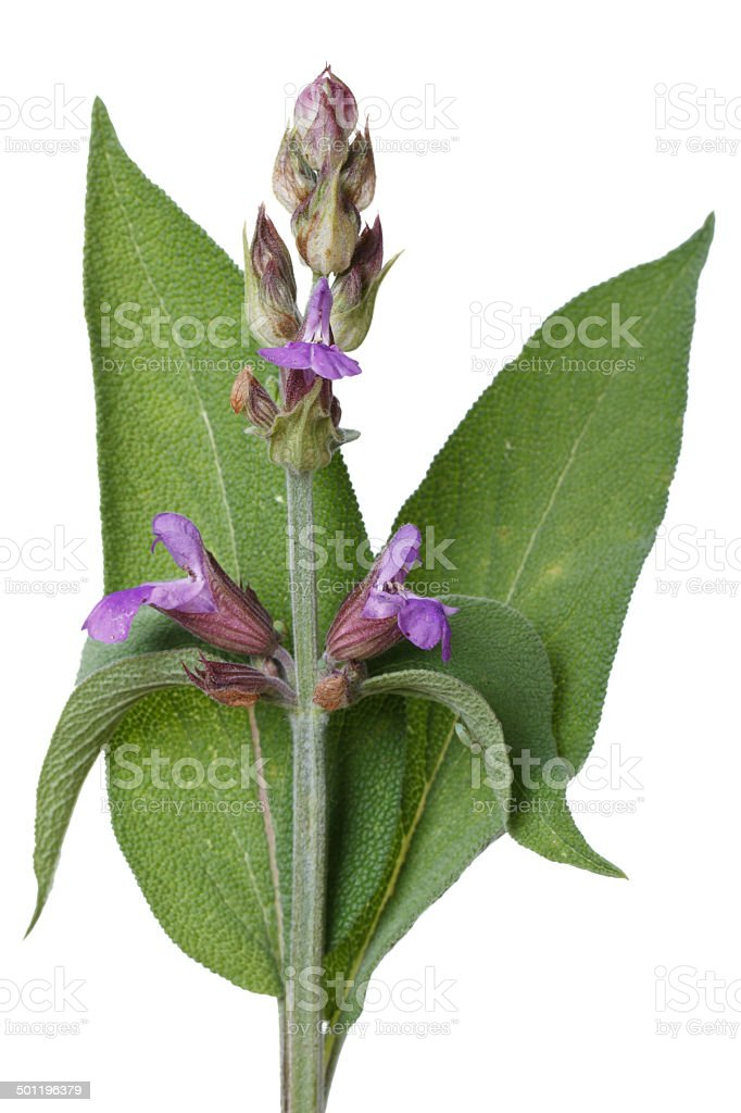 Flowering Salvia close up isolated on white stock photo