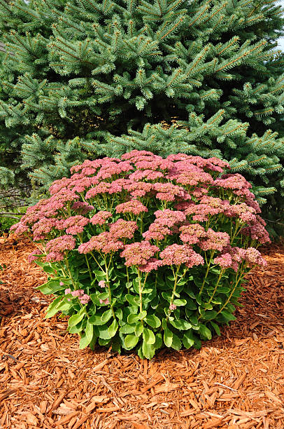 Flowering Sedum Autumn Joy  sedum plant stock pictures, royalty-free photos & images