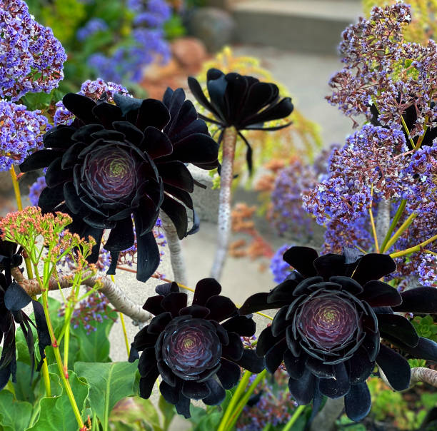 Flowering Shrub Black Blooms stock photo