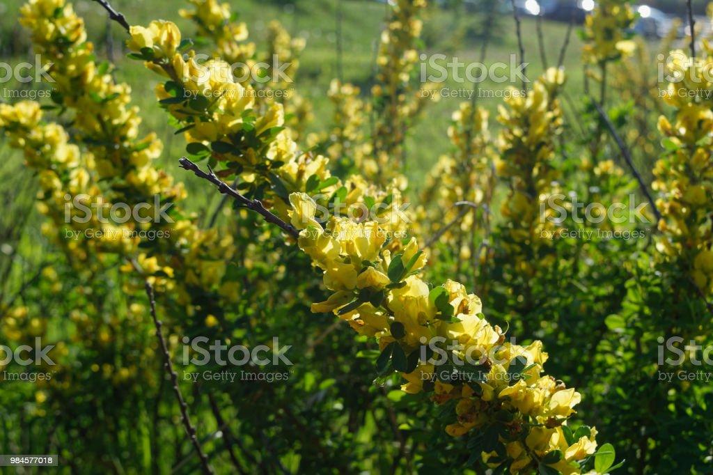 bl 252 hender strauch busch mit gelben bl 252 ten nahaufnahme stockfoto und mehr bilder baum istock