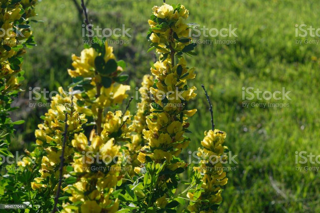 Flowering Shrub Bush With Yellow Flowers Closeup Stock Photo