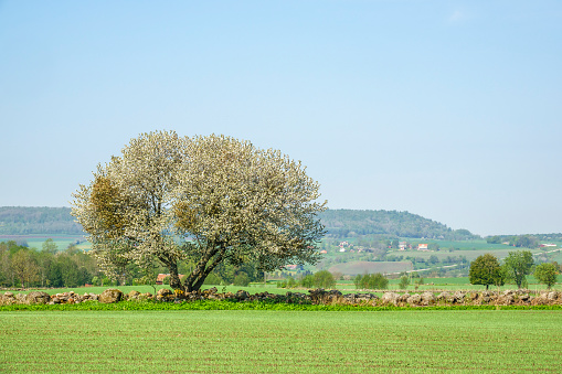 Flowering single fruit tree at a field in the rural landscape view