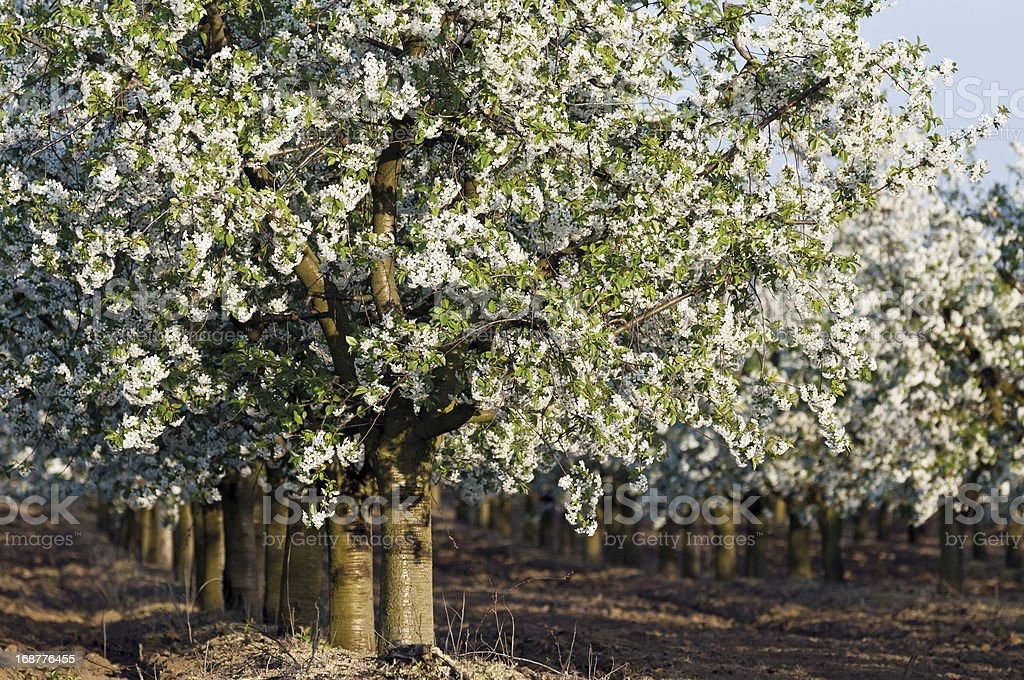 Flowering sour cherry orchard trunks royalty-free stock photo