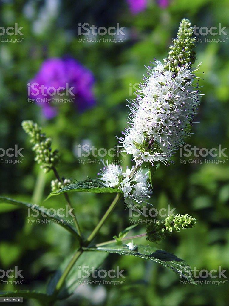 Flowering spearmint royalty-free stock photo