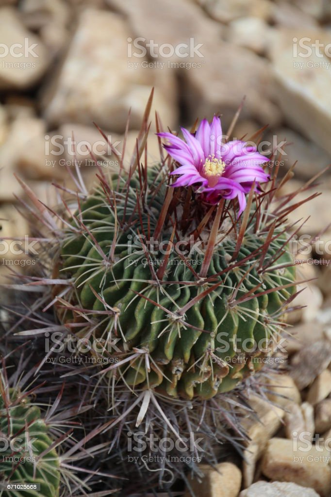 Flowering spiney cacti. stock photo