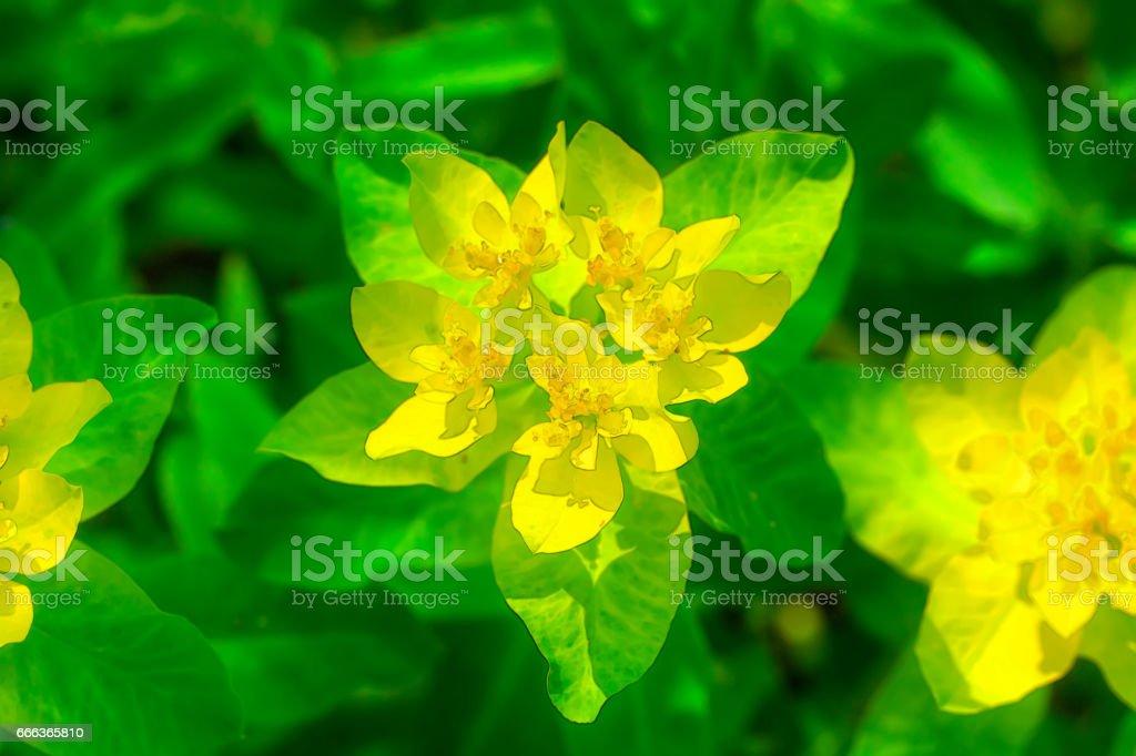 Flowering spurge. stock photo