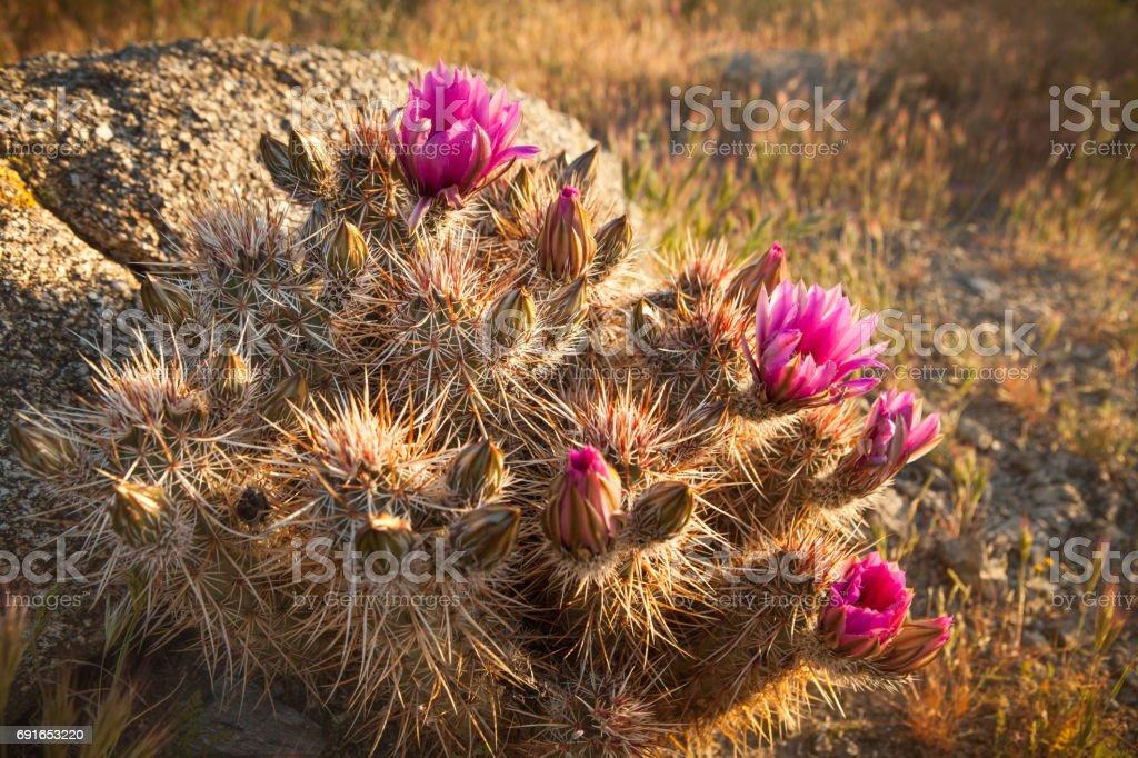 Flowering Strawberry Hedgehog Cactus, Anza-Borrego Desert State Park stock photo
