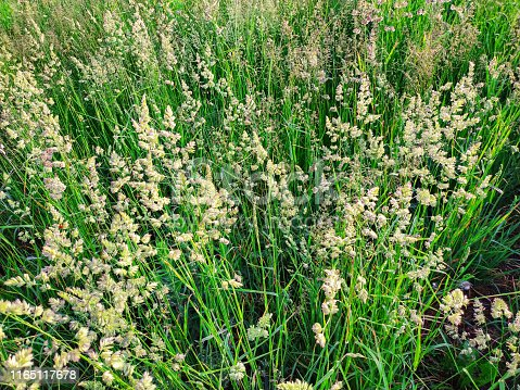 Flowering summer forage grasses. Inflorescence of timothy herbs. Cattle feed. Plant pattern background.