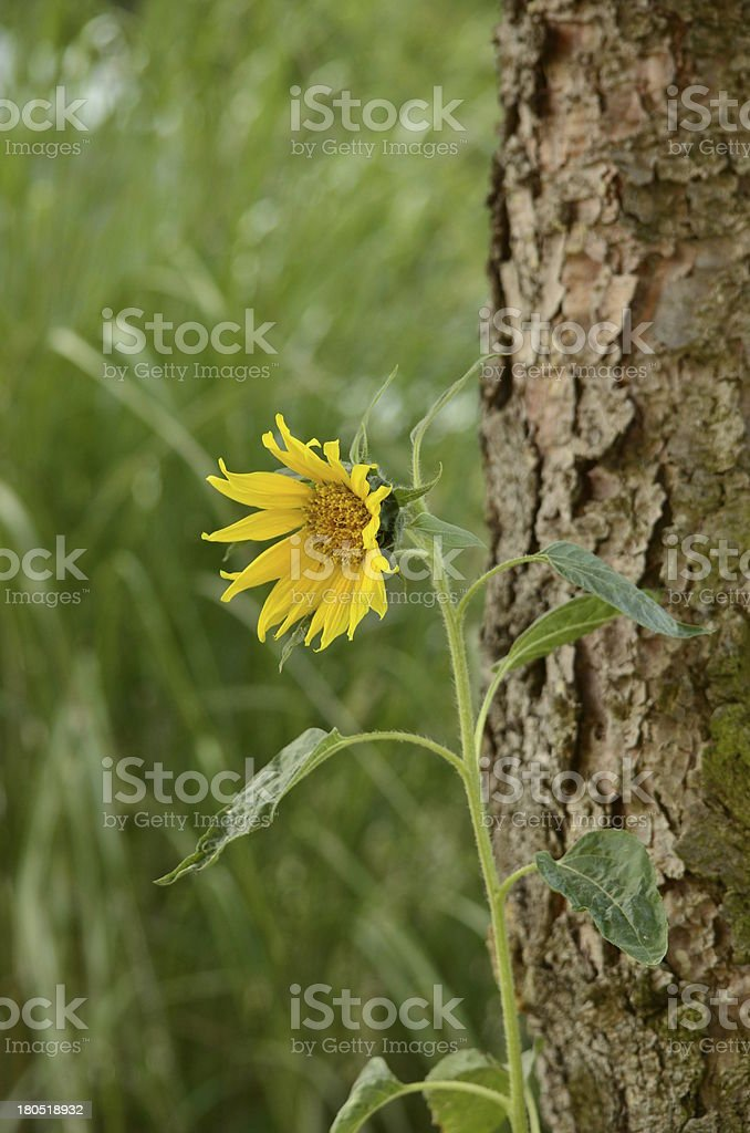 Flowering sunflower stock photo