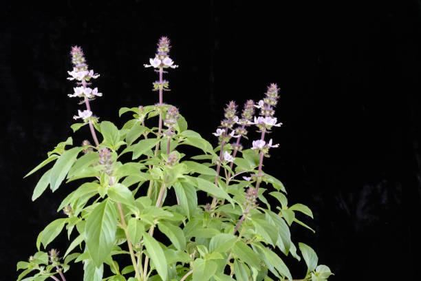 blühenden basilikum - ocimum tenuiflorum stock-fotos und bilder