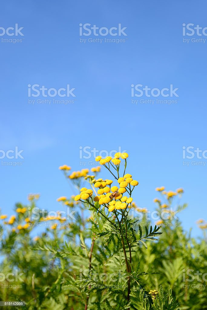 Flowering tansy plant against clear blue sky stock photo