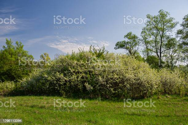 Photo of flowering thickets of blackthorns on a sunny day in the meadow and background of deciduous trees.