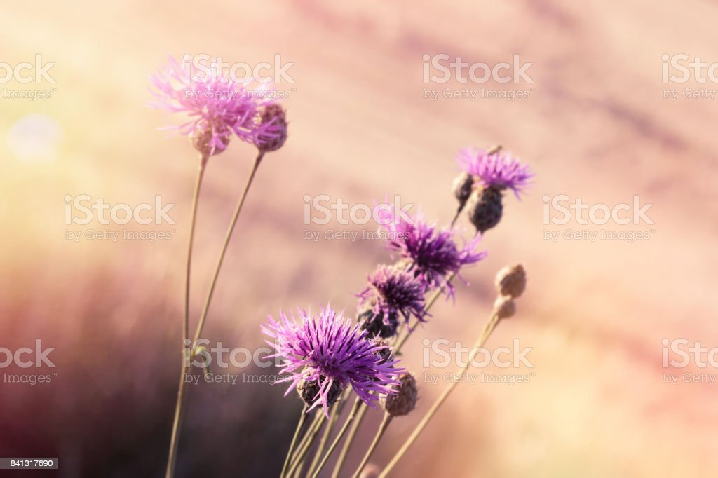 Chardon de floraison (bardane) - belle floraison - Photo