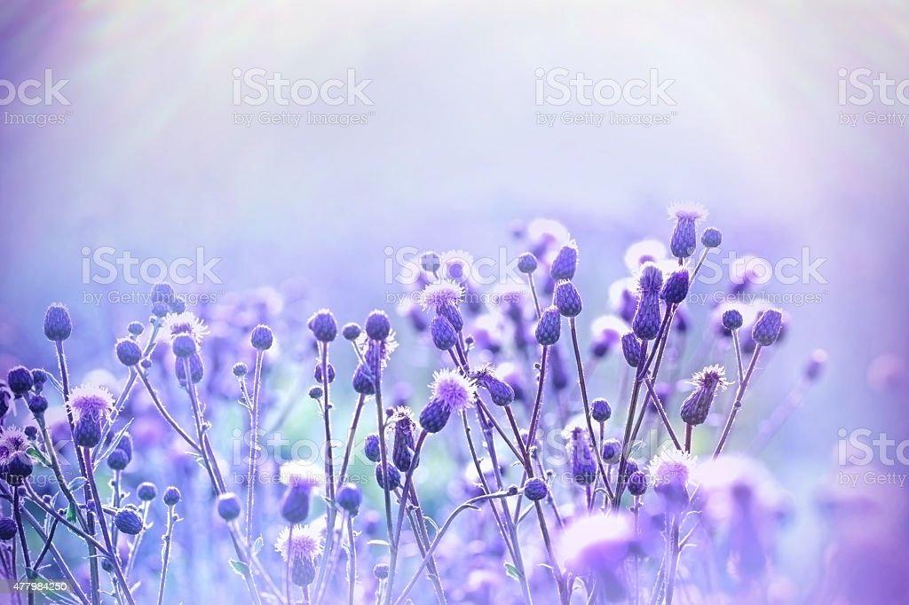 Flowering thistle - burdock lit by sunlight stock photo