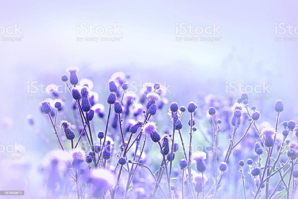 Flowering thistle - burdock stock photo