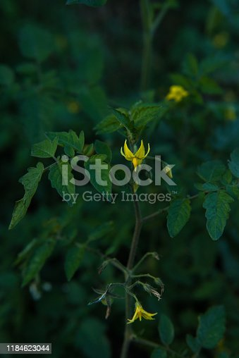 Flowering Tomato Plant, Close - up