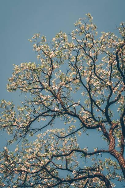 Flowering tree against the blue sky – zdjęcie