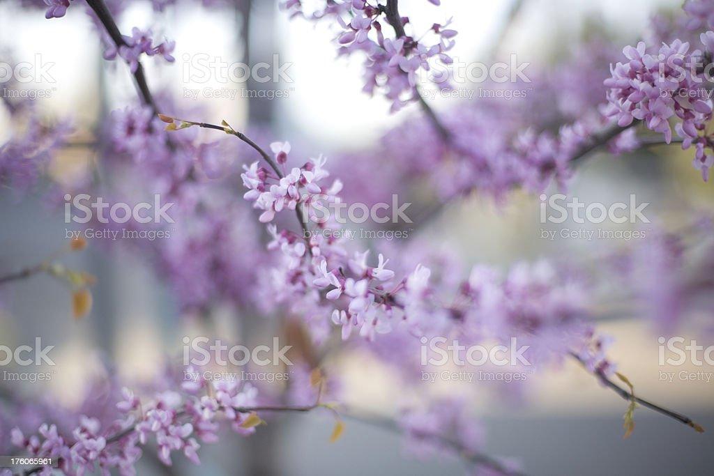 Flowering tree background royalty-free stock photo