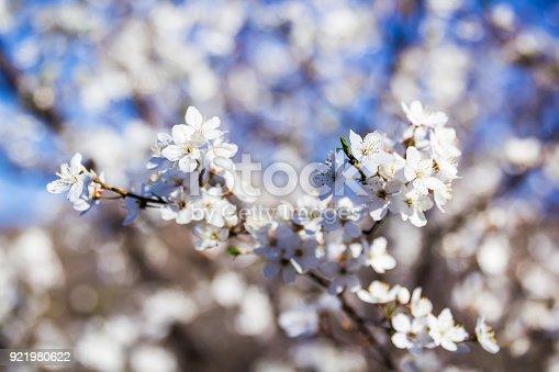 istock Flowering tree. Blooming garden 921980622