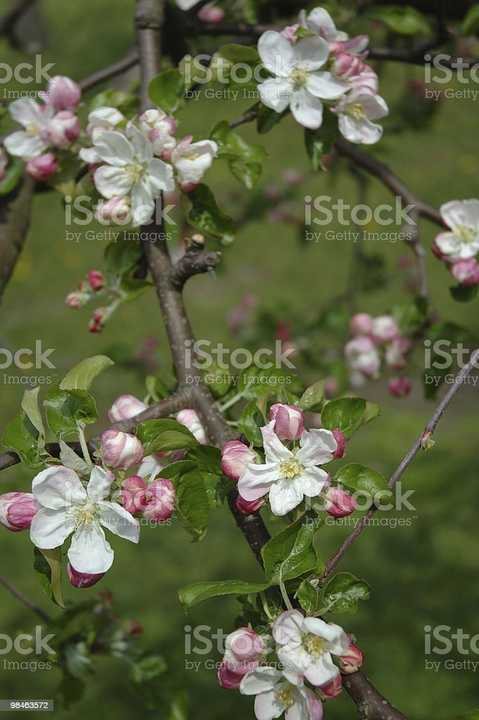 Flowering tree branch - apple royalty-free stock photo