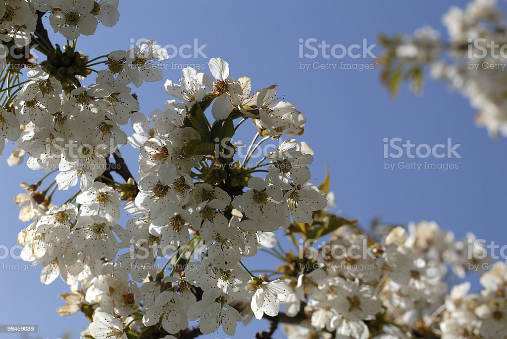 Flowering tree branch on the background of blue sky royalty-free stock photo