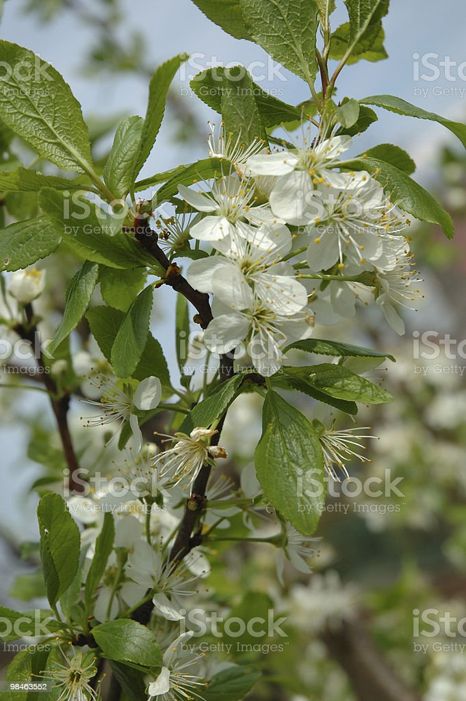 Flowering tree branch - plum royalty-free stock photo