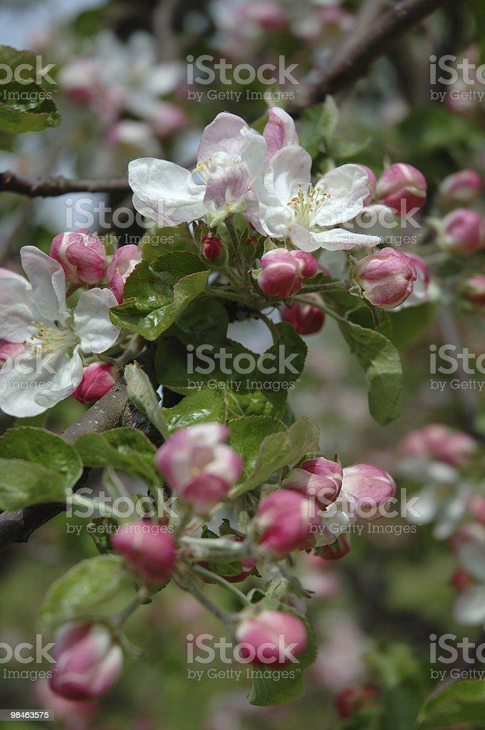 Flowering tree branch - plum royalty-free stock photo