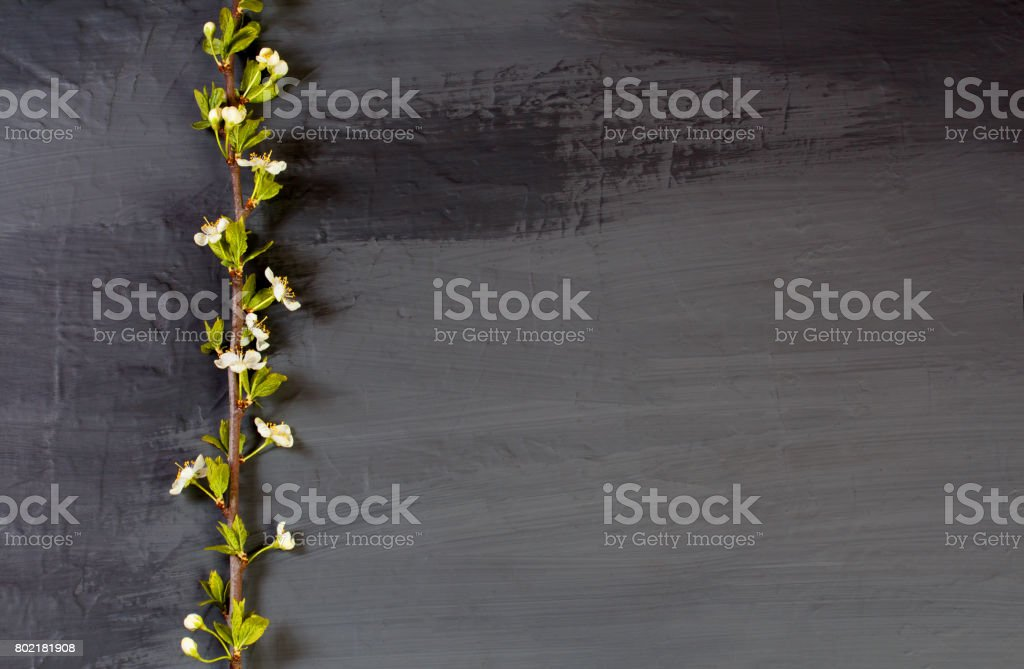 Flowering tree branches on black. Dark gray (coal colors) background with apple-tree flowers stock photo