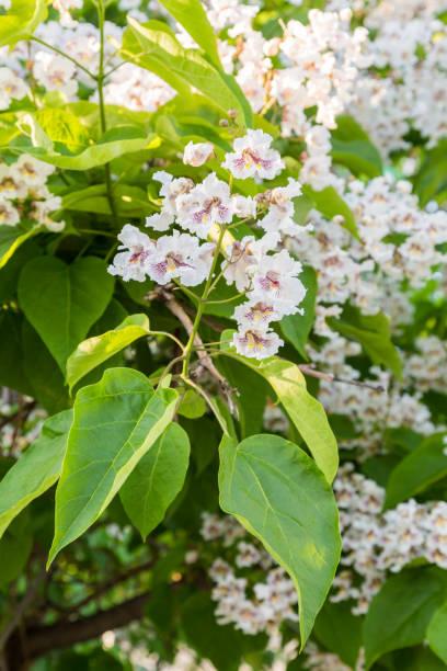 blühender baum catalpa bignonioides. weißen blüten und grünen blättern auf unscharfen hintergrund - trompetenbaum stock-fotos und bilder