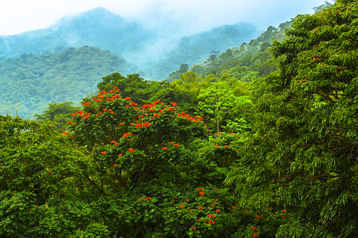 Flowering Tree in Rainforest