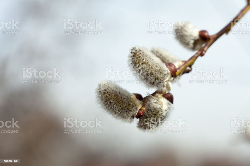 Flowering tree in spring. Twig of catkins. Symbol of Easter. – zdjęcie