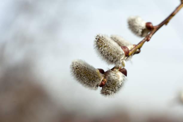 Flowering tree in spring. Twig of catkins. Symbol of Easter. – zdjęcie
