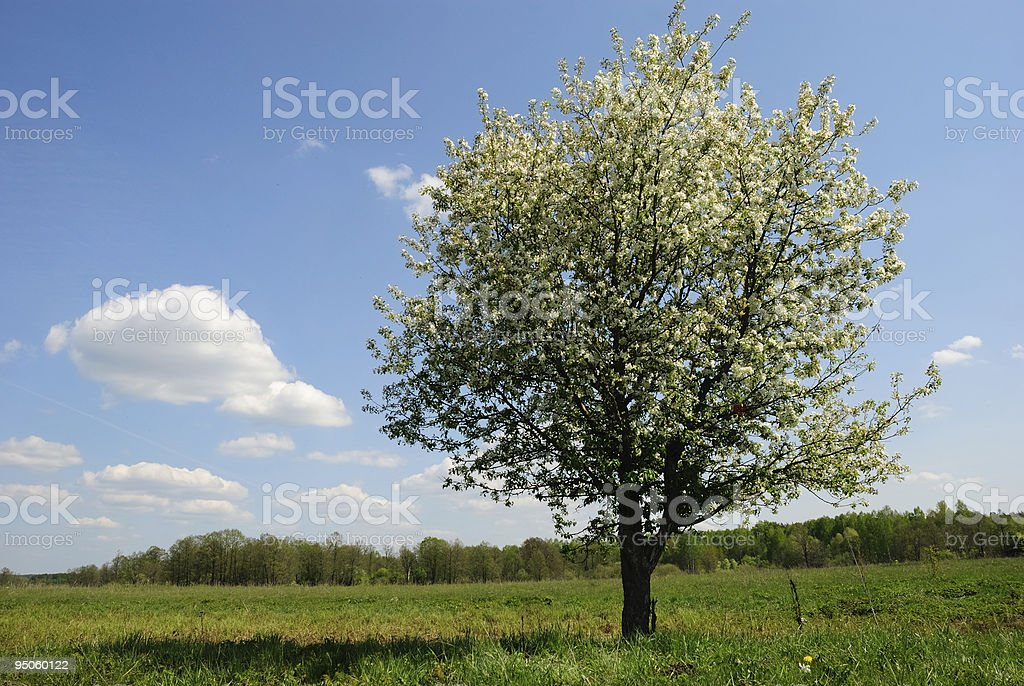 flowering tree is in the field royalty-free stock photo