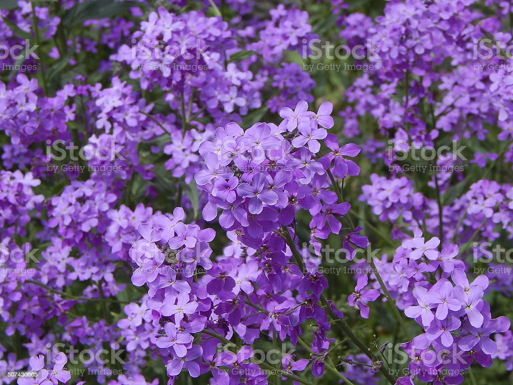 Albero Di Lillà albero fiorito lilla - fotografie stock e altre immagini di