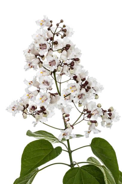 blütenbaum der catalpa, lat. catalpa speciosa, isoliert auf weißem hintergrund - trompetenbaum stock-fotos und bilder