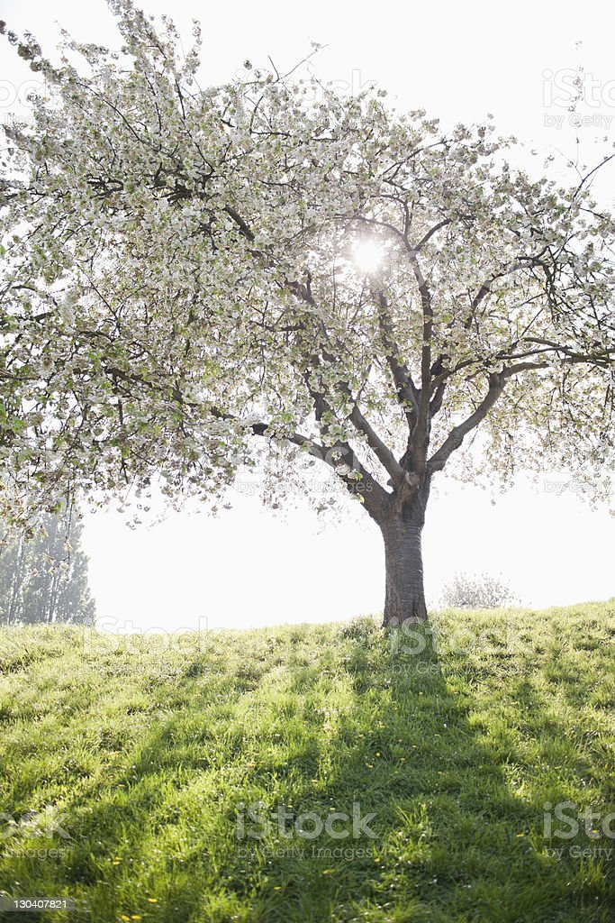Flowering tree on grassy hill royalty-free stock photo