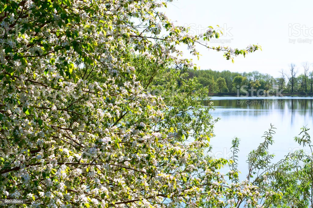 flowering tree on the lake, early spring blooms Bush white flowers, pond and blossomed tree royalty-free stock photo
