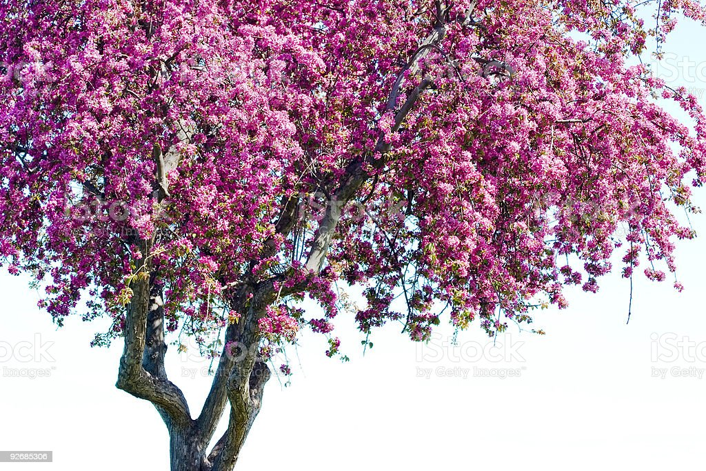 Flowering Tree royalty-free stock photo