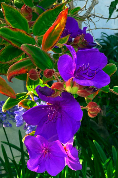 Flowering Tree Purple Flowers stock photo