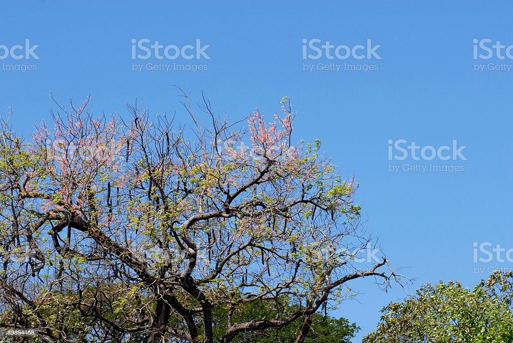 flowering tree top royalty-free stock photo