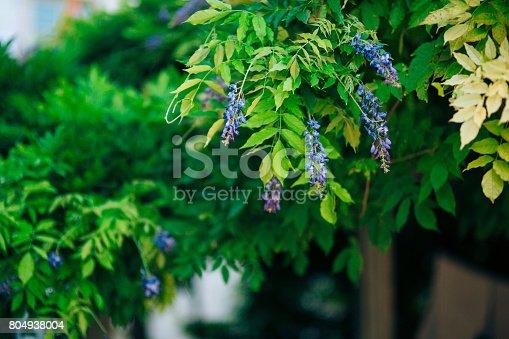 istock Flowering tree wisteria in Montenegro, the Adriatic and the Balk 804938004