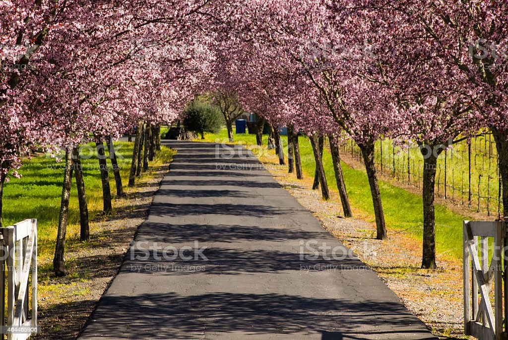 Flowering Trees in Spring along country lane Napa Valley California stock photo