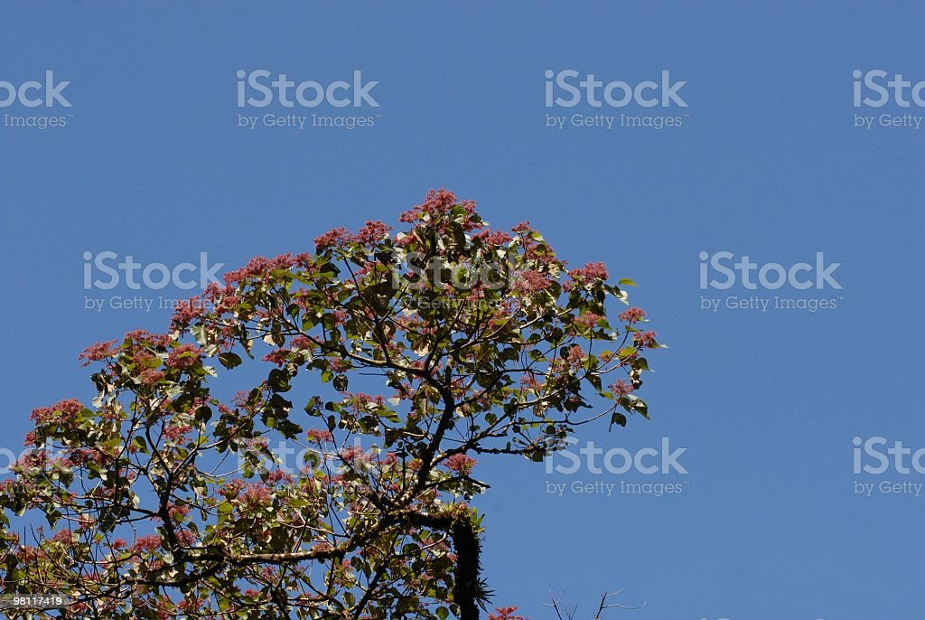 flowering treetop royalty-free stock photo
