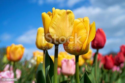 flowering tulips in a garden in spring
