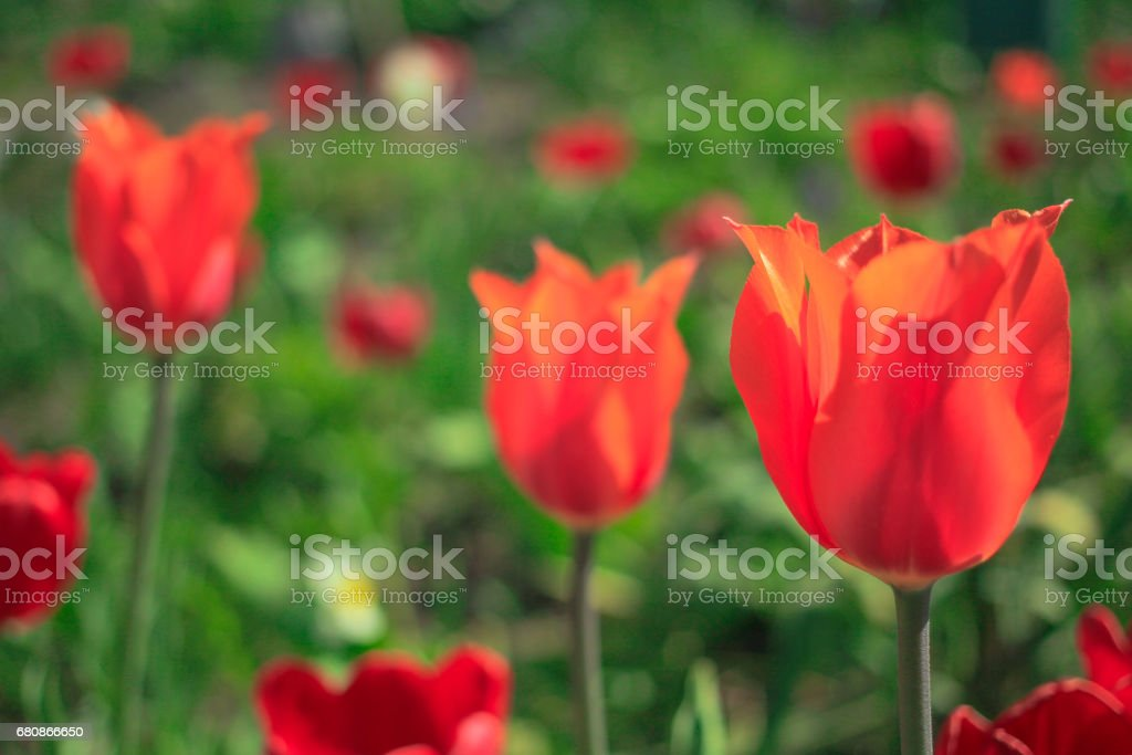 Flowering tulips in the garden royalty-free stock photo