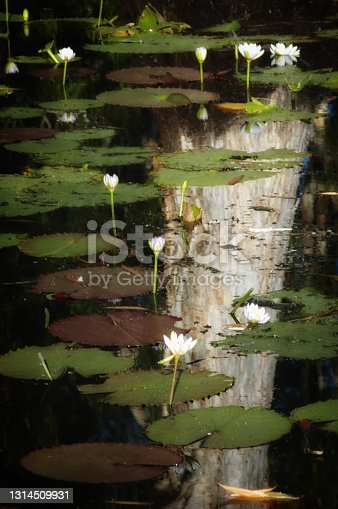 Waterlilly flowering in the Northern Territory, Australia
