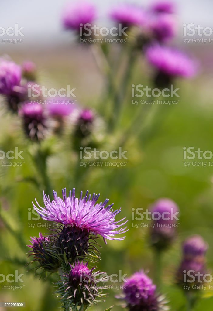 Flowering Welted thistle stock photo