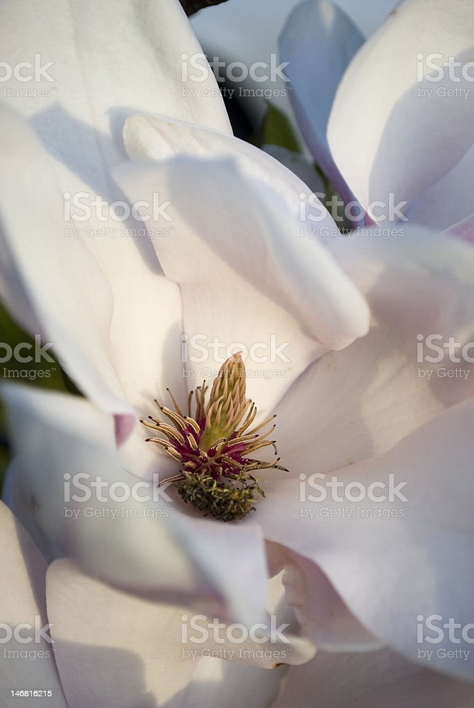 Flowering White Magnolia royalty-free stock photo